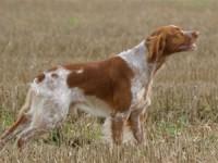 Alimentation chiens de chasse