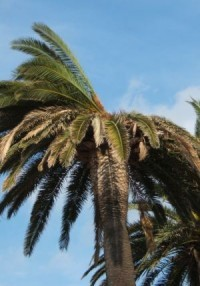 Papillon et charançon du palmier
